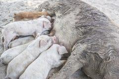 可及饲料的繁忙的小的猪由妈妈samll家庭农场 免版税库存图片