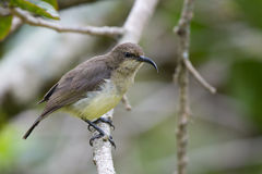 可变的Sunbird 库存照片