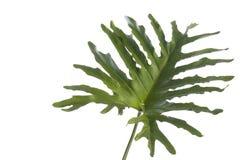 可口妖怪,飓风植物,反对白色背景的瑞士乳酪植物 库存图片