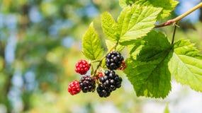 可口成熟黑莓灌木  库存照片