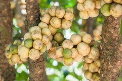可口新鲜的伍伦贡在树结果实在伍伦贡 免版税库存图片