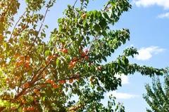 可口杏子-树枝 免版税库存照片