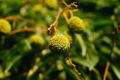 可口果子荔枝,在荔枝果树园成熟 库存图片