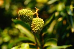 可口果子荔枝,在荔枝果树园成熟 图库摄影