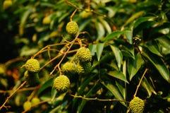 可口果子荔枝,在荔枝果树园成熟 库存照片