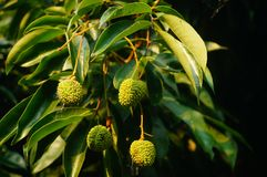 可口果子荔枝,在荔枝果树园成熟 免版税库存照片