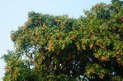可口果子荔枝,在荔枝果树园成熟 免版税图库摄影