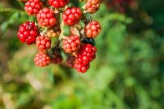 可口狂放的黑莓灌木  免版税库存照片