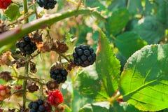 可口狂放的黑莓灌木  库存照片