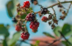 可口狂放的黑莓 库存照片