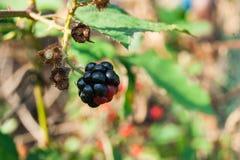 可口狂放的黑莓 免版税库存图片