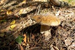 可口秋天蘑菇在森林里增长 库存图片