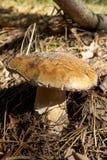 可口秋天蘑菇在草和杉木针中的森林里增长 库存照片