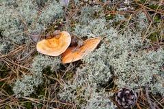 可口秋天蘑菇美味的乳菇属 库存照片