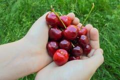 可口红色樱桃对于在绿草背景的儿童棕榈  库存图片