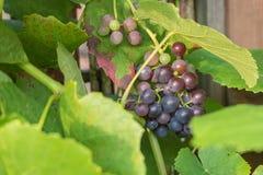 可口紫色葡萄,几乎成熟和准备好得到吃 免版税库存图片