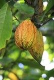 可可属恶,在树,多米尼加共和国的果子肥腻豆  免版税库存照片