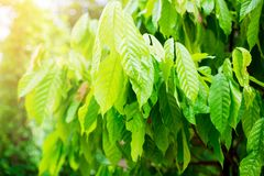 可可树和阳光 免版税库存照片