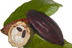 可可树的果子 免版税图库摄影