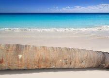 可可椰子位于在绿松石海滩的树干 免版税库存照片