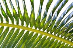 可可椰子叶状体下面  免版税图库摄影