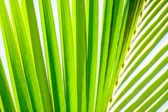 可可椰子叶状体 免版税库存照片