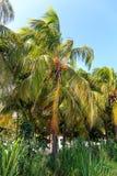 可可椰子在哈瓦那 免版税库存图片