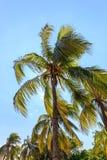 可可椰子在哈瓦那 免版税库存照片