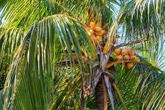 可可椰子在哈瓦那 库存照片