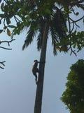 可可椰子在蓝天下 库存照片