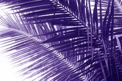 可可椰子树叶子紫罗兰色被定调子的照片 椰树叶子特写镜头 抽象椰树棕榈叶背景 免版税库存照片