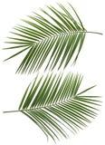 可可椰子树叶子设置了1被隔绝 图库摄影