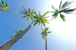 可可椰子树在一晴朗的蓝天天 大夏威夷海岛 库存照片