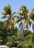 可可椰子树在基韦斯特岛 库存图片