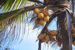 可可椰子树在蓝天下 库存照片
