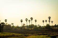 可可椰子树种植园在泰国 免版税库存照片