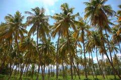 可可椰子树种植园 免版税库存图片