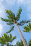 可可椰子树,作为背景的天空 图库摄影