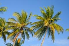 可可椰子树 免版税库存照片