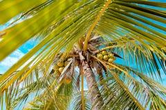 可可椰子狂放的角度的树关闭 库存图片