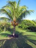 可可椰子结构树 免版税库存照片