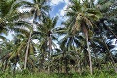可可椰子结构树 免版税图库摄影