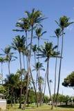 可可椰子高大的树木 免版税图库摄影