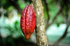 可可粉果子,在Bentre省,越南的热带水果 免版税库存图片
