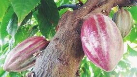 可可粉果树 库存图片