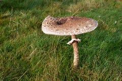 可吃蘑菇 免版税库存图片