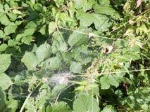 可怕在灌木顶部的蜘蛛` s网大关闭离开 免版税图库摄影