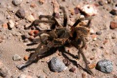 可怕的蜘蛛 库存照片