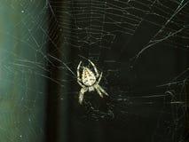 可怕的蜘蛛Araneus 免版税库存图片