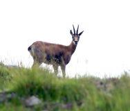可怕羚羊在山的岩石小心地检查在su 免版税库存图片
